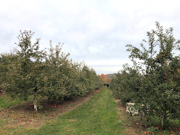 manzanas en connecticut